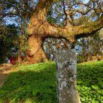 千本楠の巨木達の神秘的な姿に圧倒された。