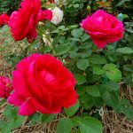 かのやばら園でばらの花の香りに誘われて甘いひと時を過ごしました。