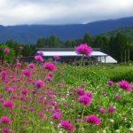 鹿児島県鹿屋市の「ダマスクの風」のバラとハーブの畑にブルービーが訪れます。