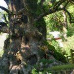 蒲生八幡神社の大楠は日本一の大きさ、パワースポットの御朱印も頂いた。
