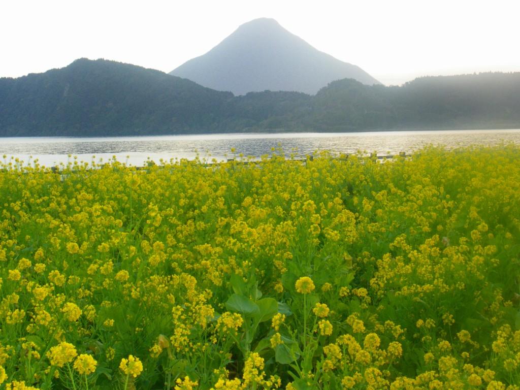 菜の花満開の池田湖を走る菜の花マラソン。
