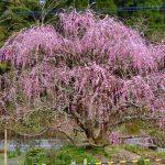 しだれ梅ならここ、薩摩川内市の高江町と水引町にある個人のお庭ですが。