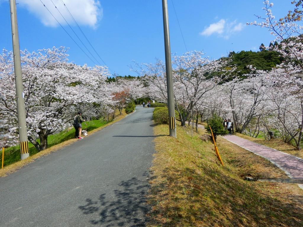坂を登ると桜の道がありました。