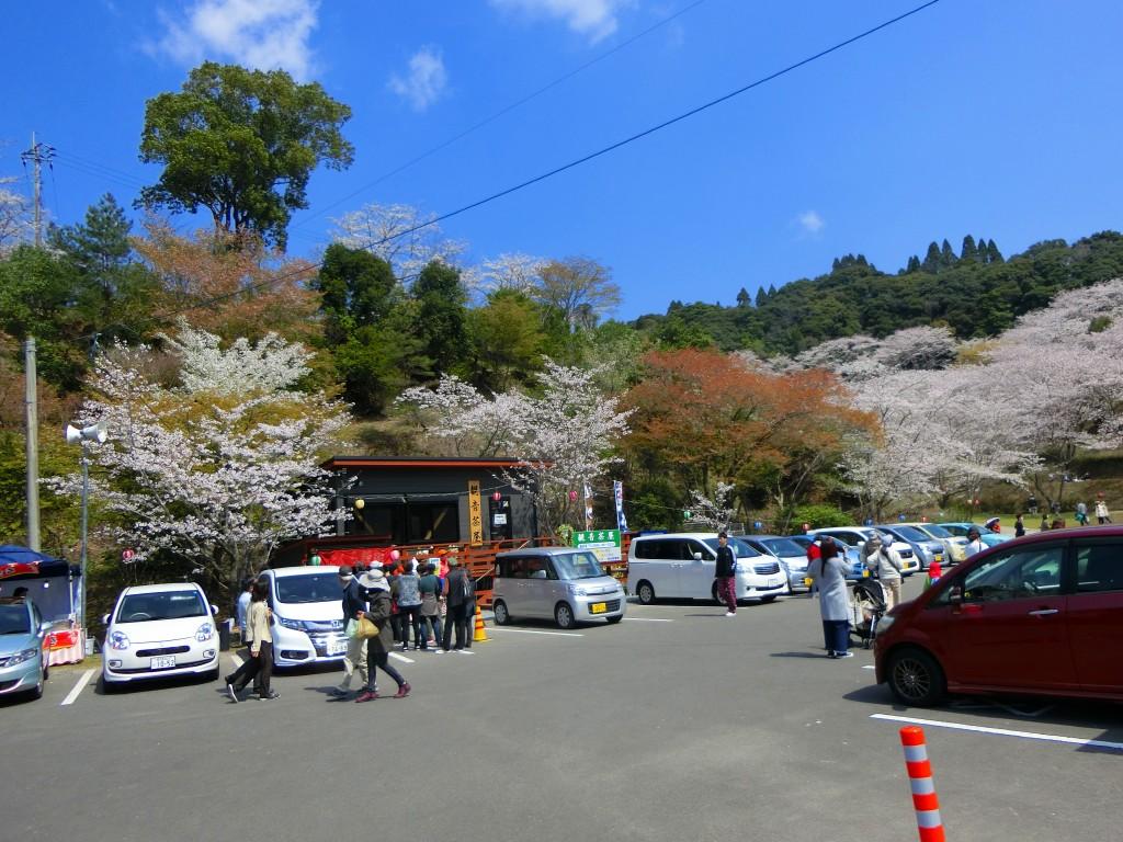 駐車場も花見客でいっぱいです。