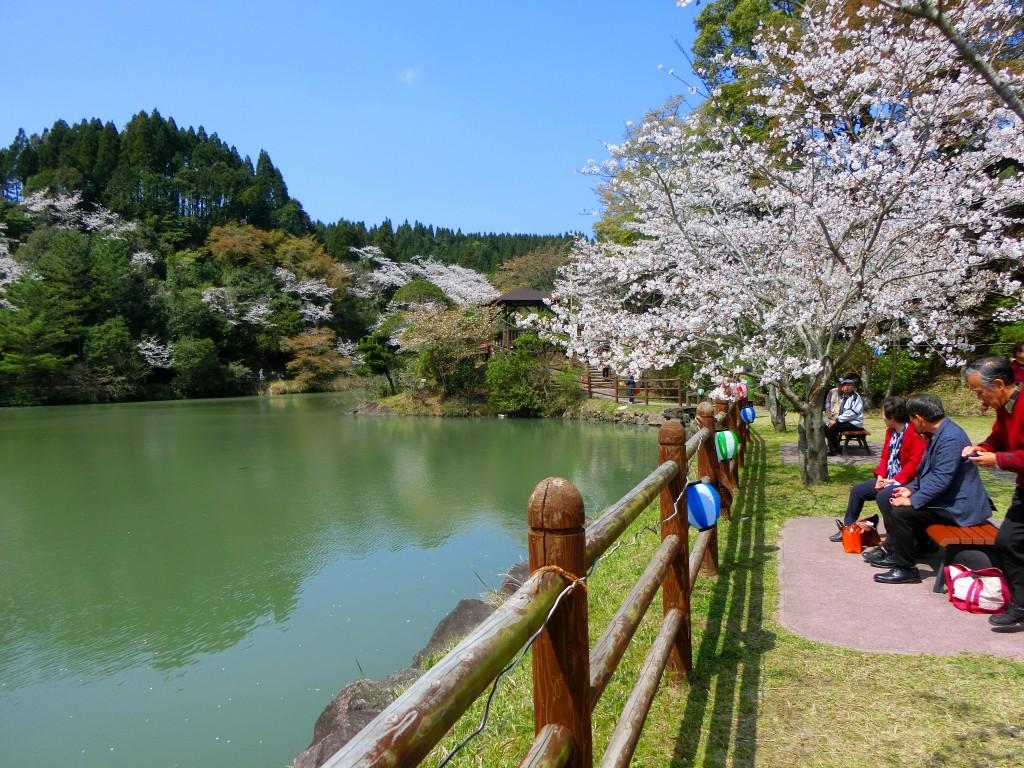観音ヶ池の桜を楽しみます。