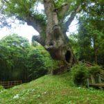 塚崎の大楠は古墳の上に生えた神秘度ナンバーワンの木。