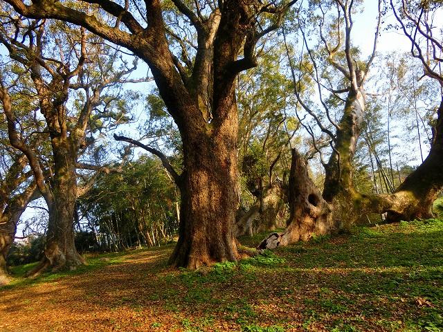 楠の大木が千本あるかのように見えます。