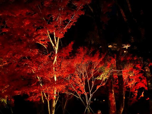 ライトアップされた紅葉です。