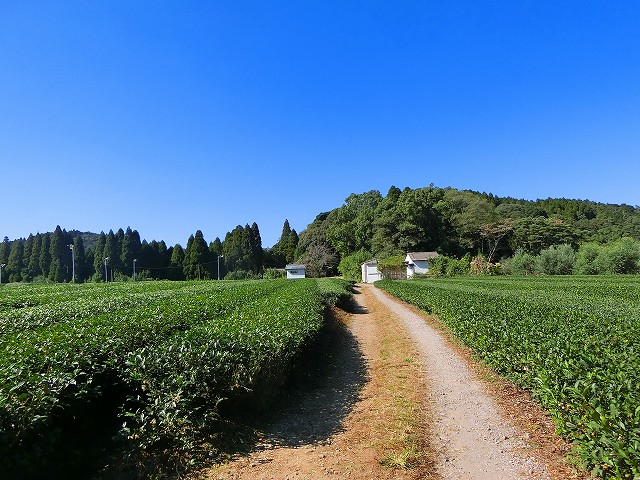 気持ちの良い茶畑の向こうに玉山神社があります。