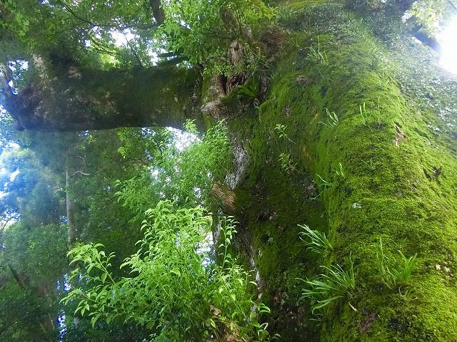 戦国島津氏も木のパワーを頂いた?