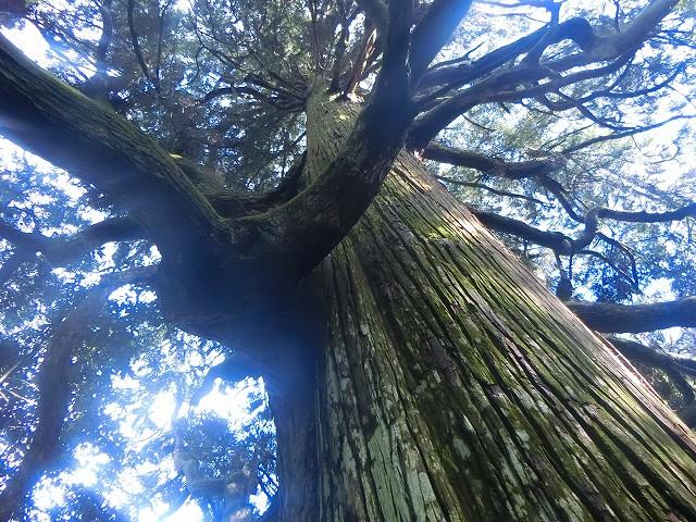 安良神社のご神木に圧倒されました。