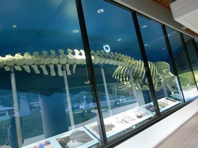 くじらの眠る丘でクジラの骨格見学は無料。