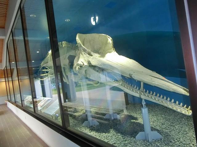 マッコウクジラの頭蓋骨は口の骨も大きい