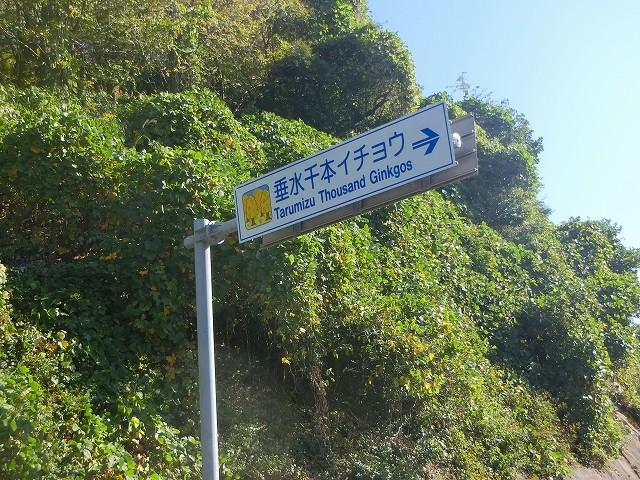 垂水千本イチョウは高峠の前にあります。