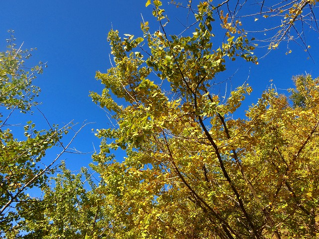 青い空に黄色のイチョウが溶け込みます。