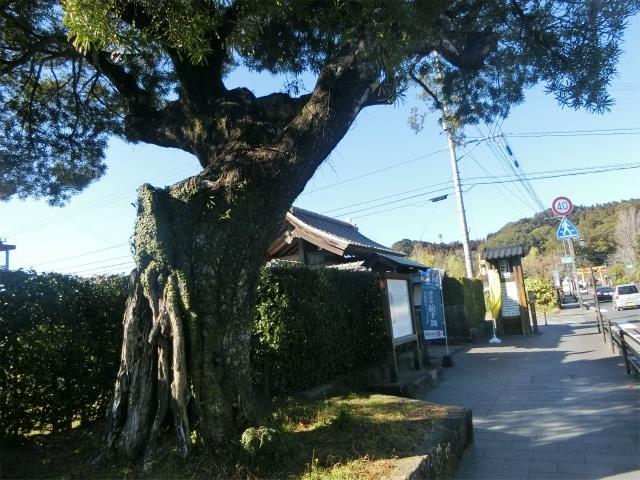 蒲生麓を見守る樹齢400年のイヌマキ