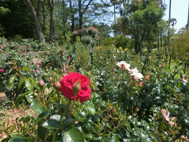 花の並木道の途中にこのバラ花壇があります。