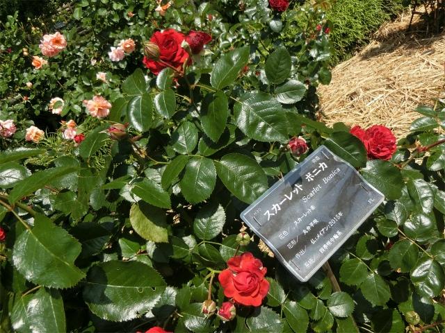 バラ花壇には赤やピンクのバラが咲いています。