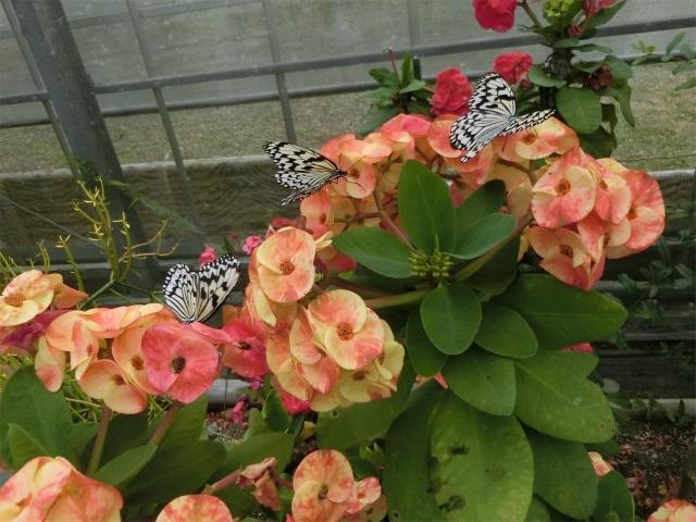 蝶の館に居るのはオオゴママダラという名の蝶