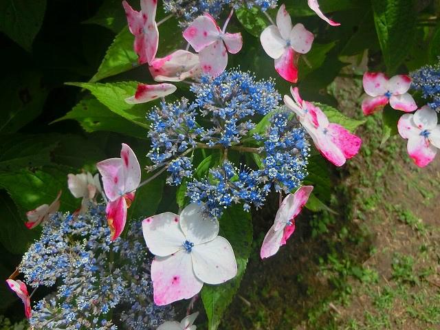 様々な種類のはじさいが咲いています。