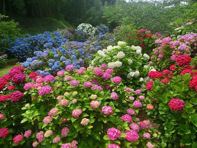 あじさいの色ごとにも花言葉があるとは。