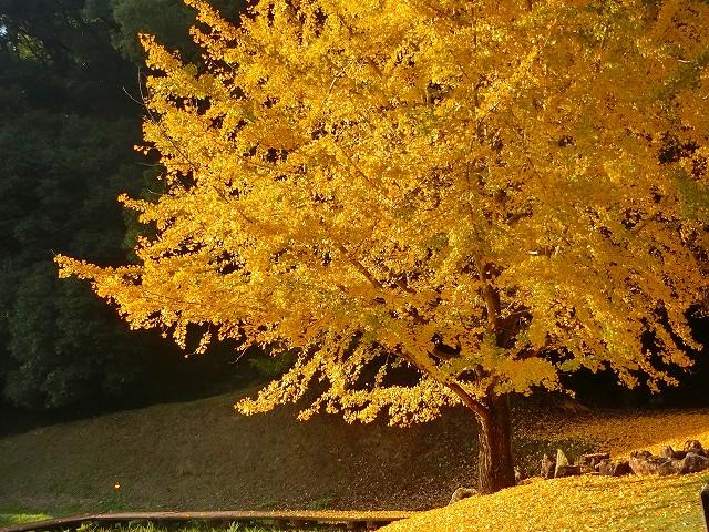 清水岩屋公園は黄色い絨毯です。